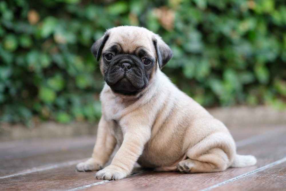 Newborn pug dog playing on wooden floor in garden.