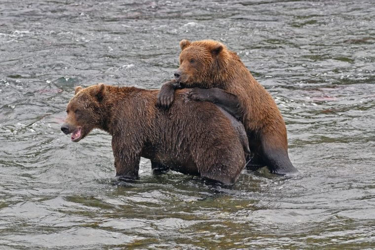 VARIOUS Two Grizzlies (Ursus arctos horribilis), standing in water, Brooks River, Katmai National Park, Alaska, USA