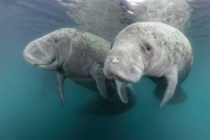 VARIOUS Two West Indian manatees (Trichechus manatus), couple, Three Sisters Springs, manatee sanctuary, Crystal River, Florida, USA