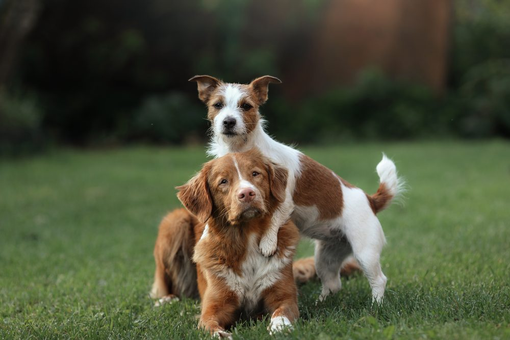 Dog Jack Russell Terrier and dog Nova Scotia Duck Tolling Retriever and hugging each other. obedient and friendly