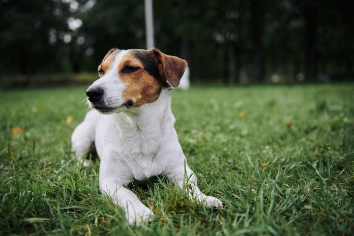 Funny little dog lying on green grass in the park