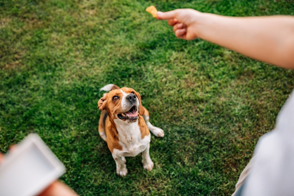Beagle dog waiting for the food. Woman gives her Beagle the dog food.