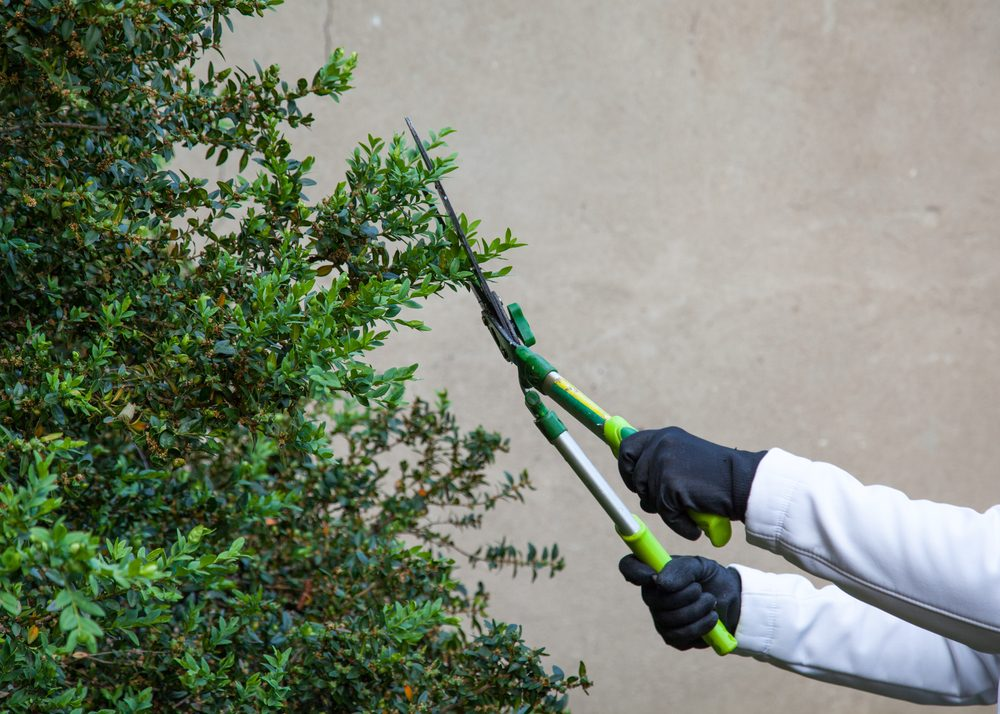 cutting hedges using gardening shears