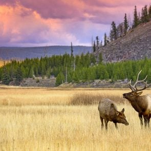 elk and cow