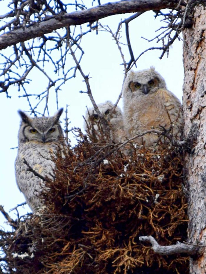 family of Great Horned Owls