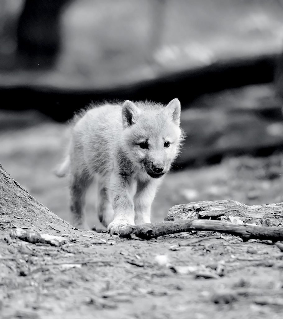 Timber wolf pup