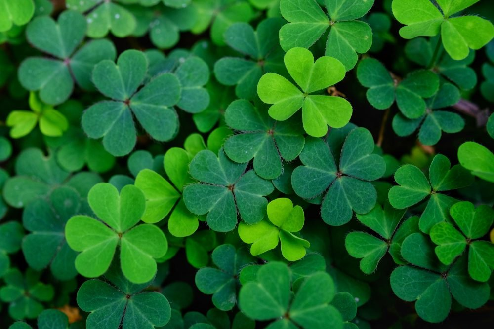 Clover leas for Green background with three-leaved shamrocks. St. Patrick's day holiday symbol.