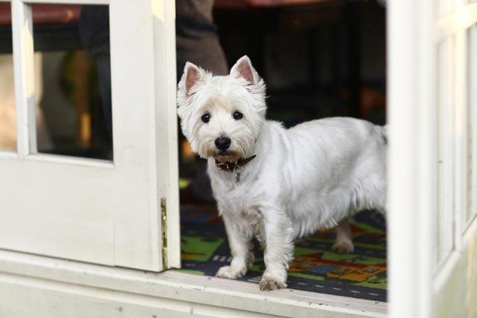 white dog front door
