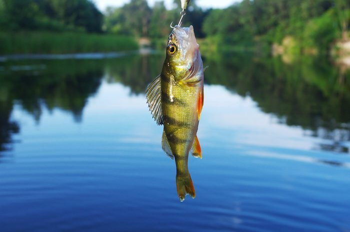 Perch caught on spinning