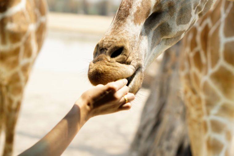 Giraffe eat - Food and Feeding