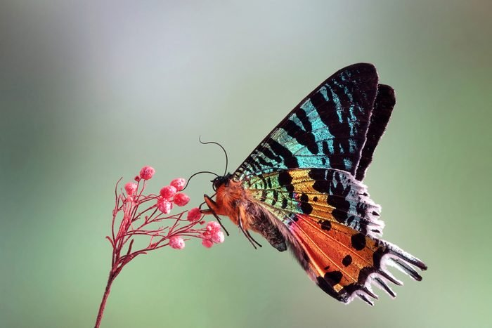 Madagascan Sunset Moth (Chrysiridia rhipheus) , One of world's most impressive coloful and beautiful with iridescent parts of the wings. Selective focus, blurred nature green background. Butterfly