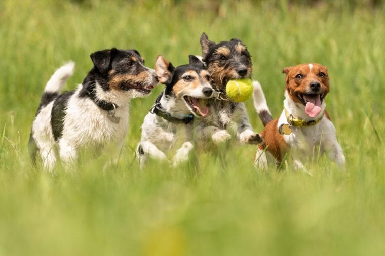 Many dogs run and play with a ball in a meadow - a cute pack of Jack Russell Terriers
