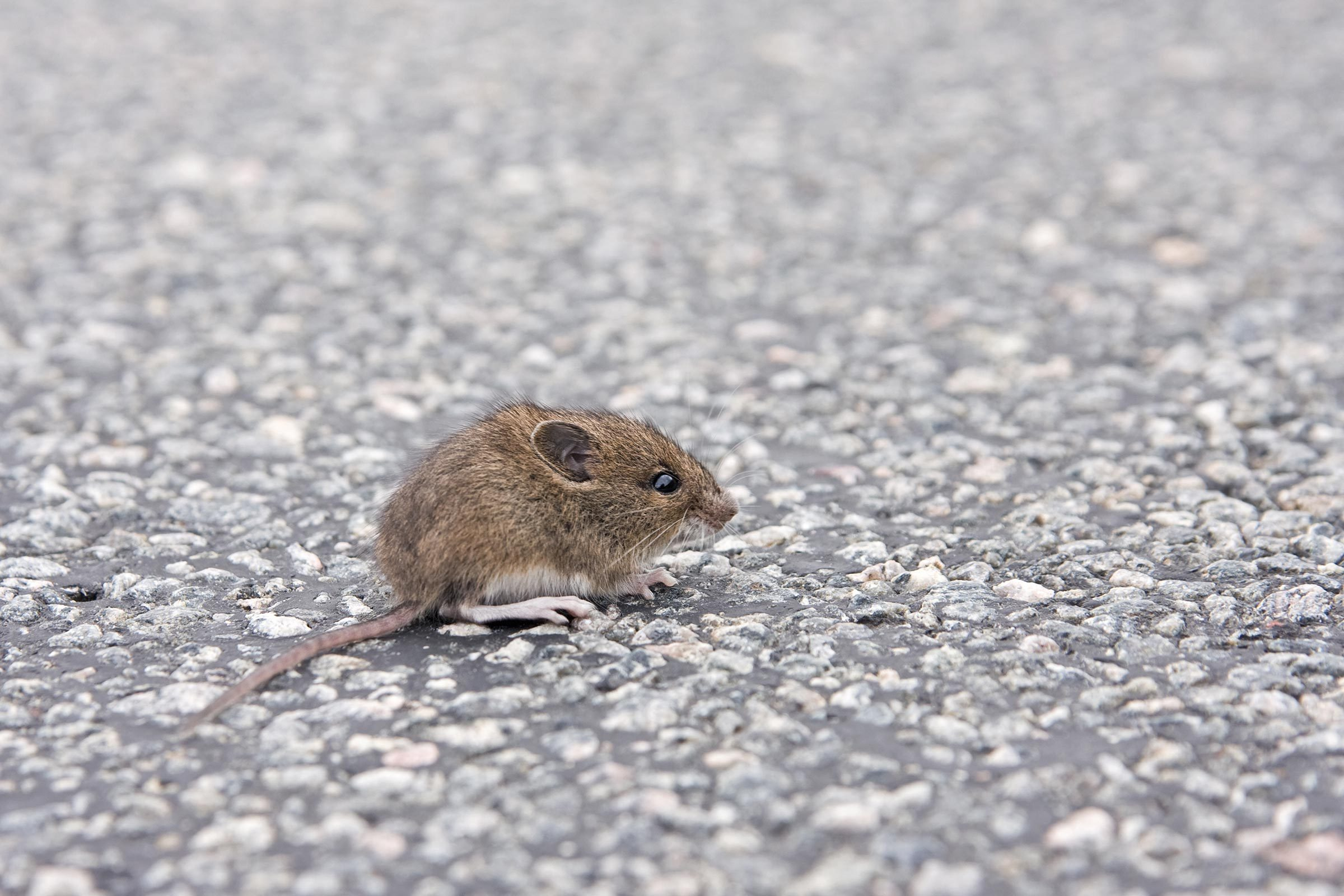 mice cities street city