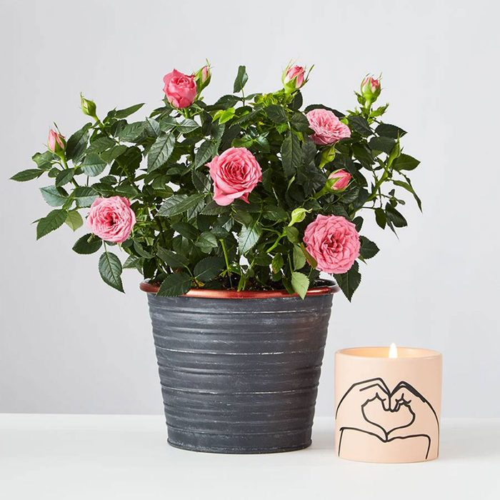 These flowers will last and last: Pink Rose Plant