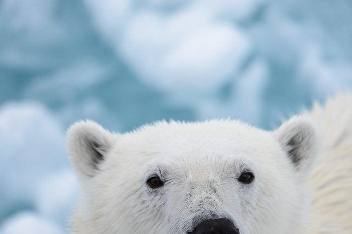 Polar bear's head close up