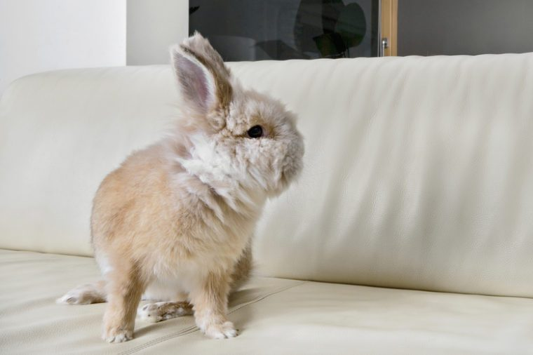 Golden rabbit sitting on a home sofa turning to look at the empty space.