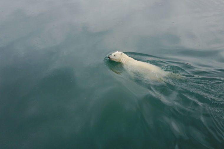Polar bear swim in Arctic Ocean near Wrangel Island