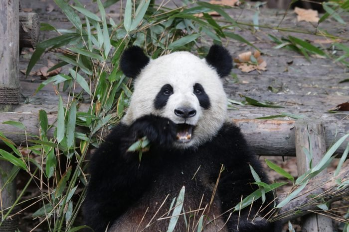 Close-up Fluffy Face of Giant Panda, Chengdu, China