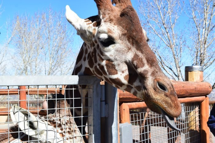 Cheyenne Mountain Zoo Giraffe!