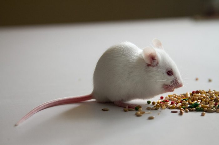 White Mouse eating bird seed on empty table