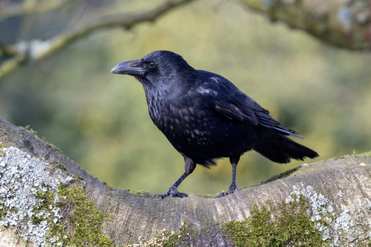 Carrion Crow Close-up