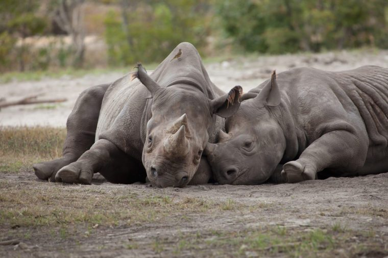 Rhinos at rest at the Miami Metro Zoo