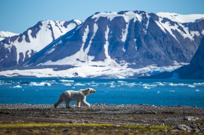 Polar bear in south Spitsbergen
