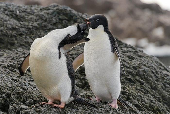 Two adelie penguins standing on beach in Antarctica
