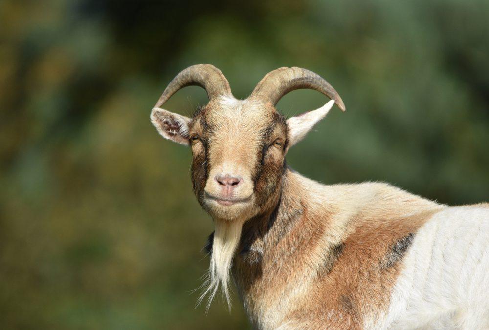 Billy Goat / Male Goat