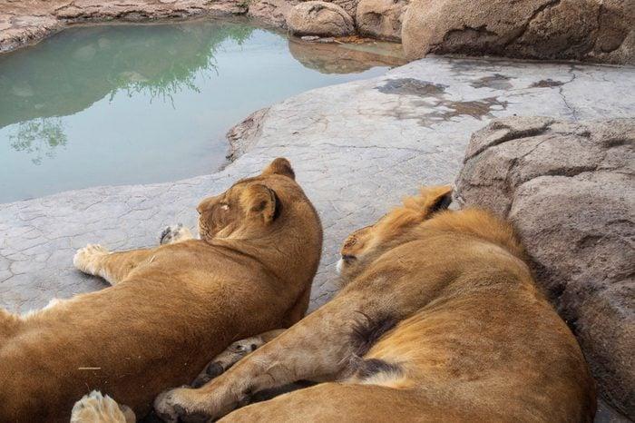 Lion Couple Cuddling