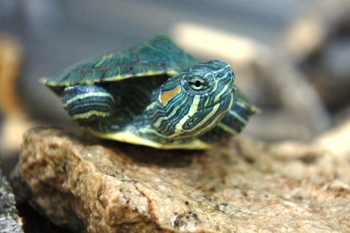 small brazilian turtles