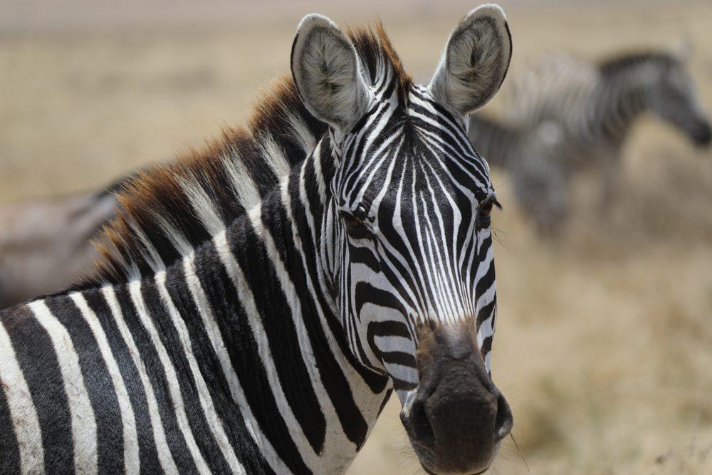 Zebra at Tanzania lake Manyara national park