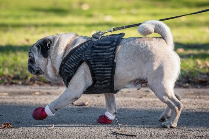 Pug dog in red dog boots and on a leash walking in the park.