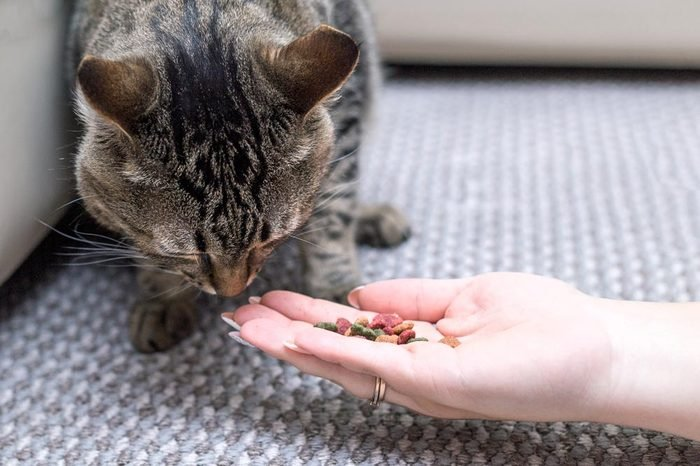 woman is feeding cat, cat eats from hands of girl