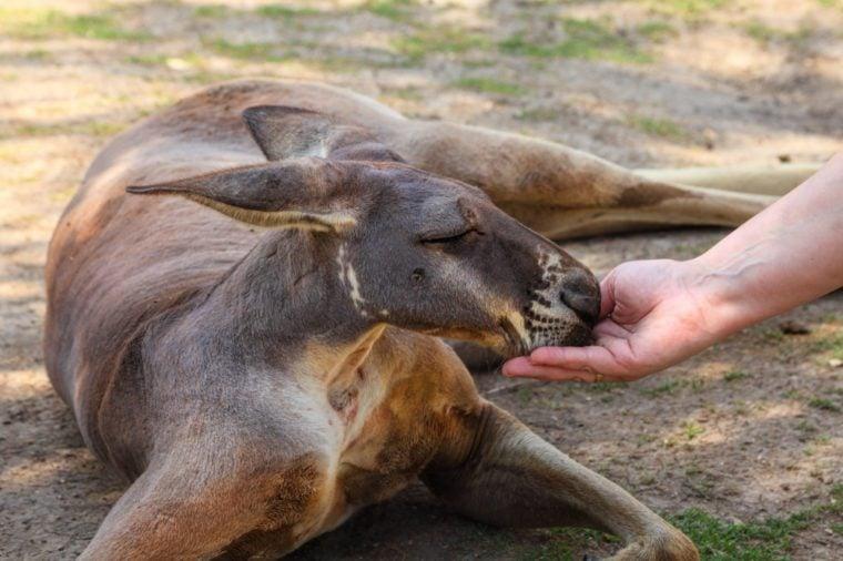 Kangaroo and woman are friends. Woman is feeding the kangaroos. Human hand give the food to kangaroo. Friendship and trust. Animals protection
