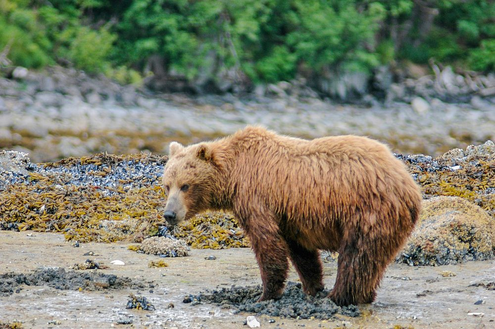 At low tide, grizzly bears come out on the mud flats in Geographic Harbor, Katmai, and use their keen sense of smell to dig for razor shall clams.