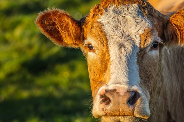 Young european cows and calves in free nature