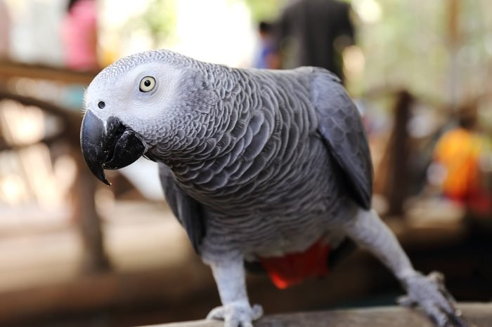 close up on a African Grey Parrot
