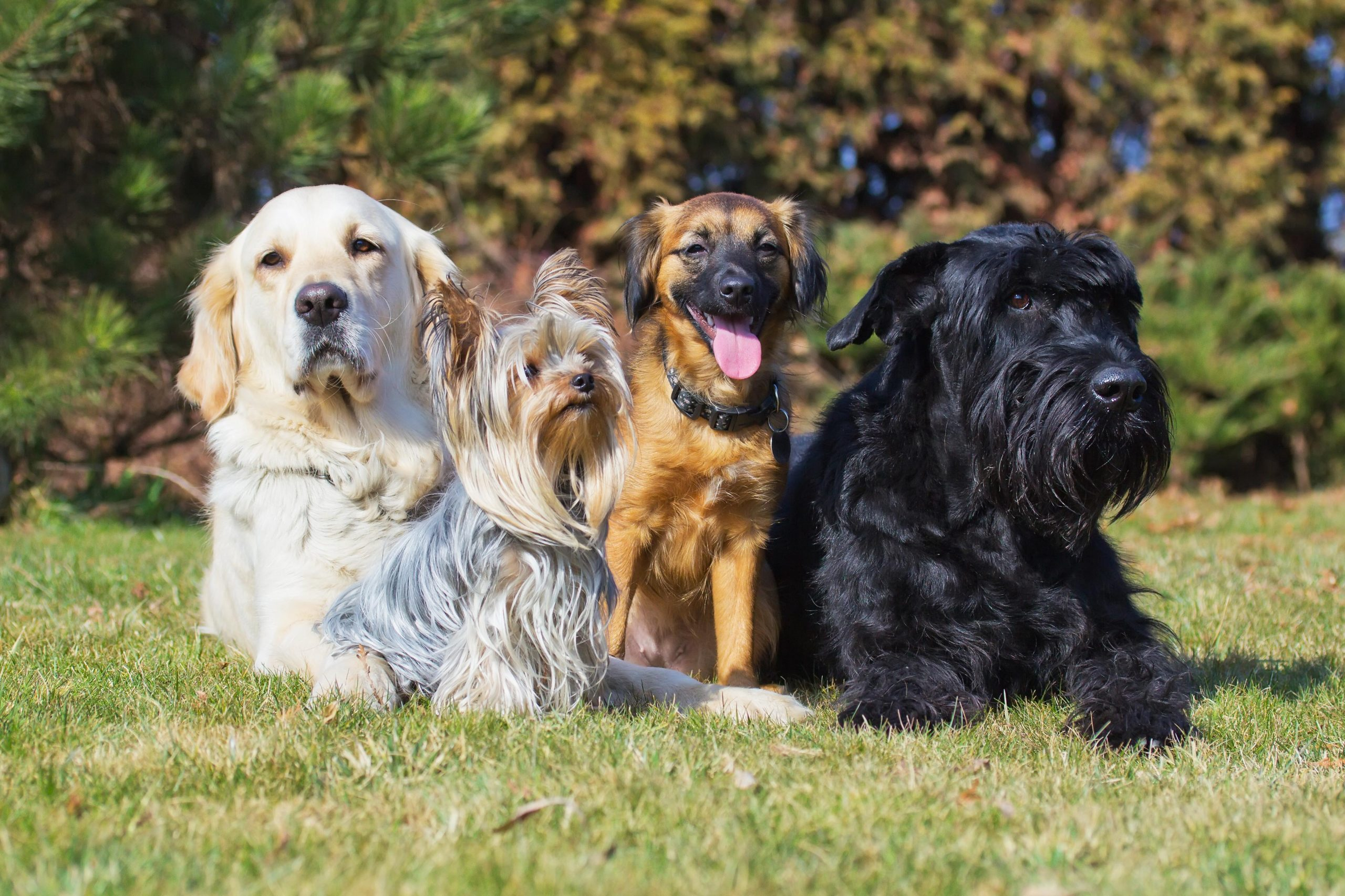 A group of four dogs of different breeds is lying on a green lawn.