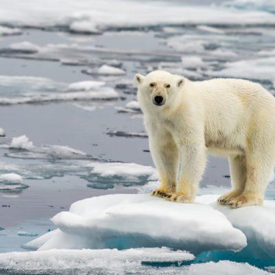 polar bear on melting ice floe in arctic sea