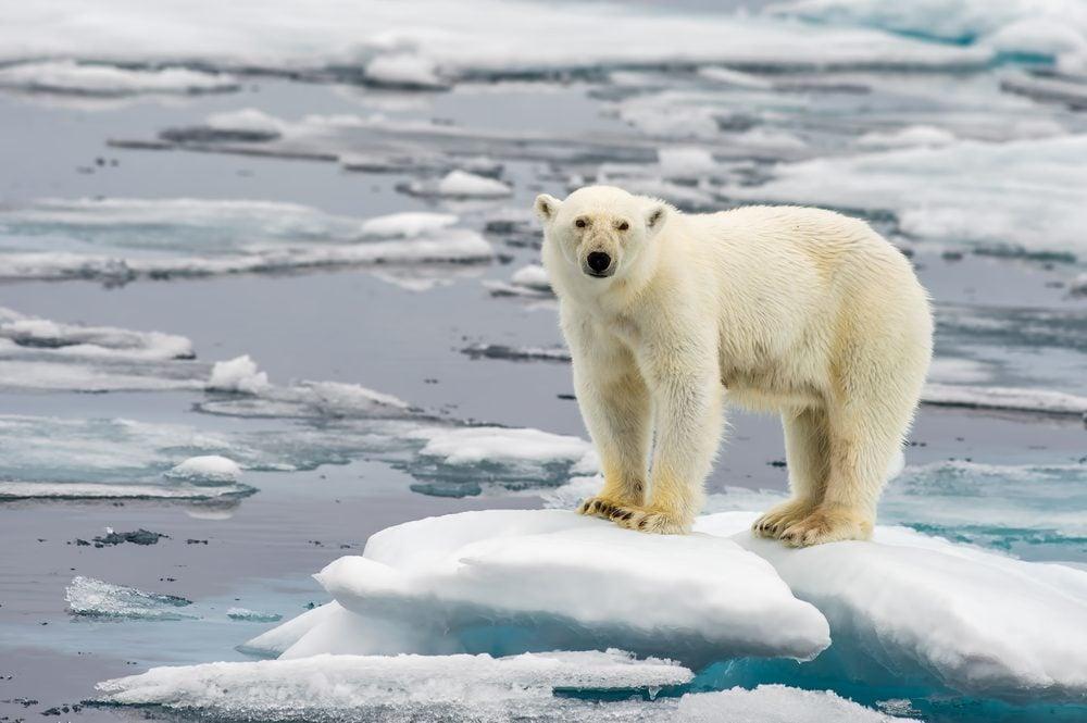 13 Polar Bear Facts You Never Knew