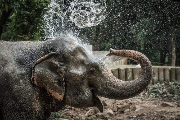 Thai elephant daily bath