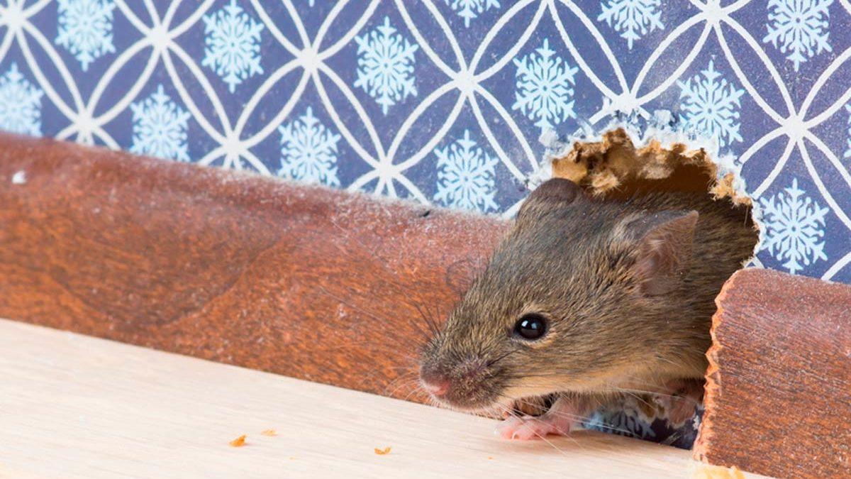 43e4d0f35ca How to Get Rid of a Mouse in a Wall | Reader's Digest