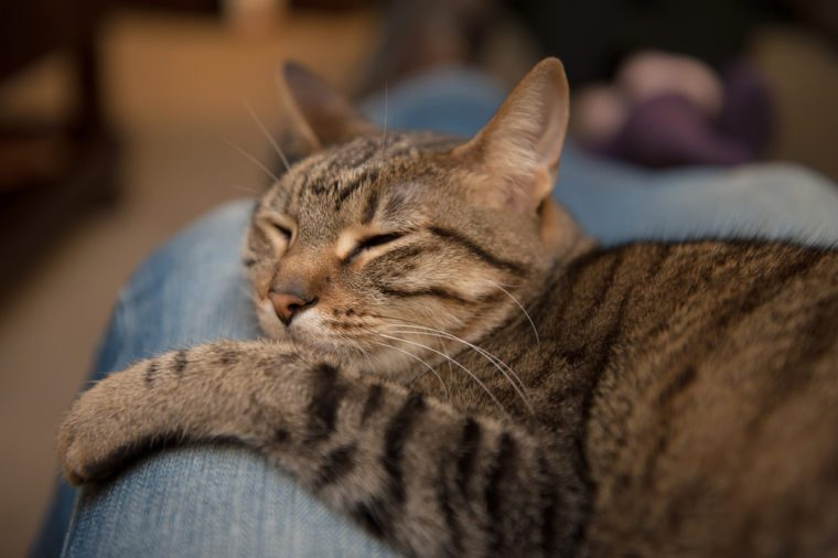 A tabby cat sleeps snuggled in the lap of an adult wearing blue jeans