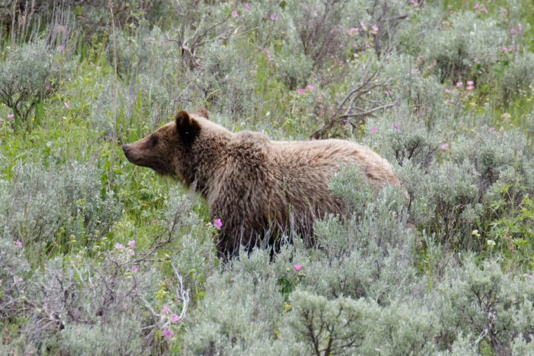 Grizzly bear, Yellowstone National Park, Wyoming, USAGrizzly bear, Yellowstone National Park, Wyoming, USA