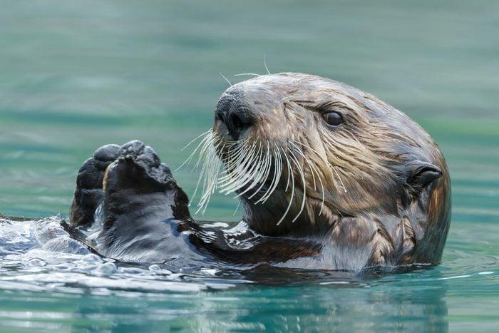 Sea otter close up portrait
