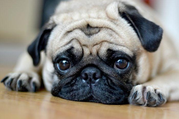 Pug Dog Sad puppies.Sleep rest on floor