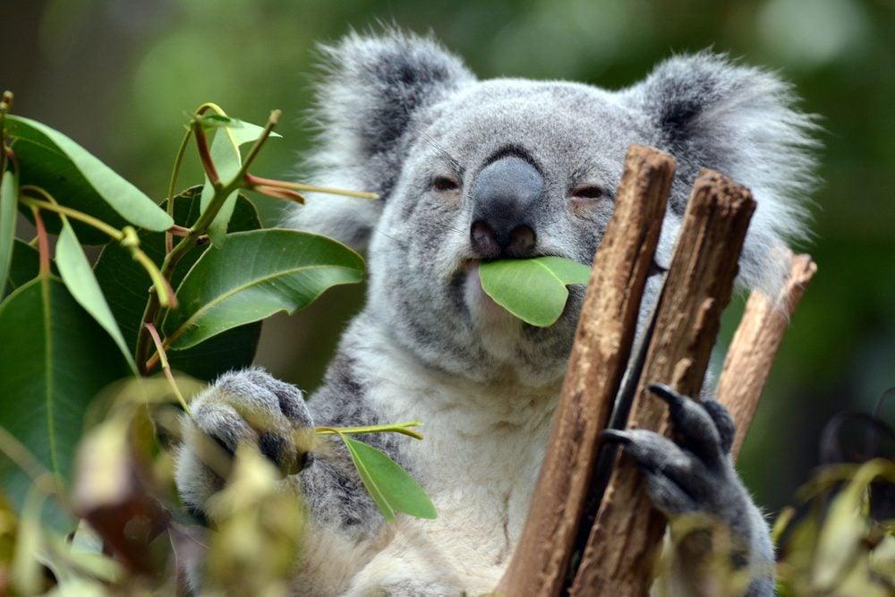 Koala at Lone Pine Koala Sanctuary Brisbane