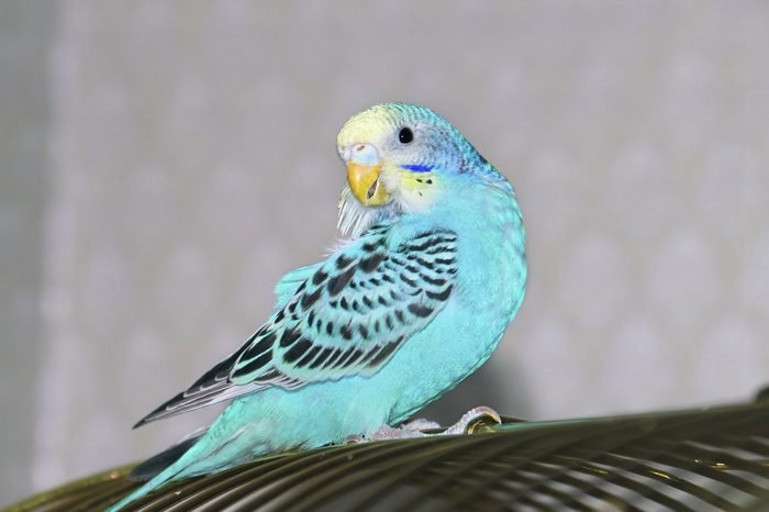 Blue wavy parrot girl cleaning its feathers at blurred background