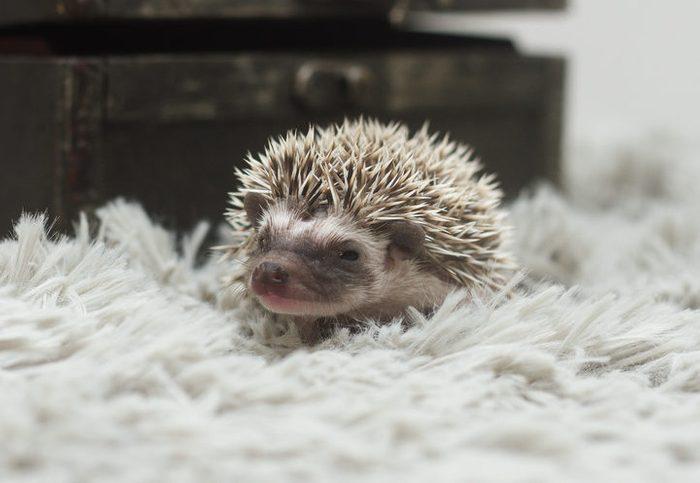 tired and sleepy baby cute african pgmy hedgehog in indoors